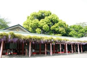 日枝神社の藤