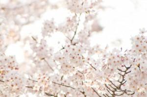 下から見上げた桜の木
