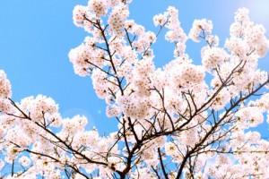 青い空とピンクの桜のコントラストがとてもきれい