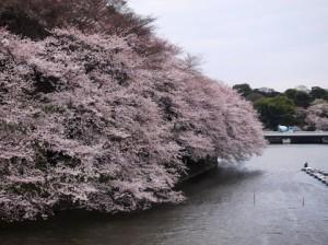 水辺までセリ出ている大きな桜の木