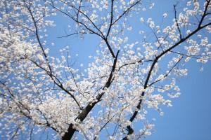 青空の下満開を迎えた桜の花