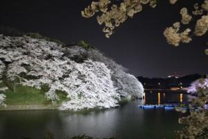 水面ぎりぎりまでしだれている桜の花