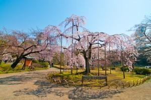 老木の枝垂桜